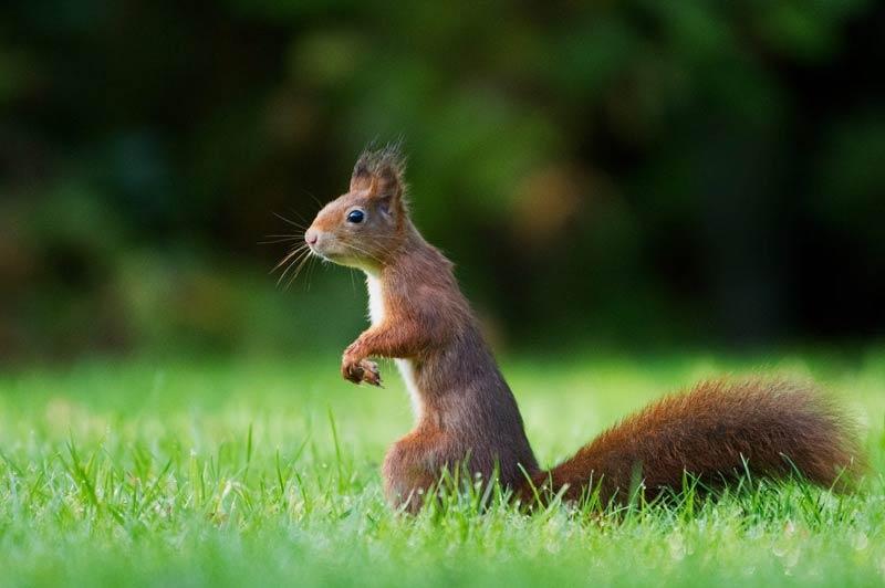 Red Squirrel Trust